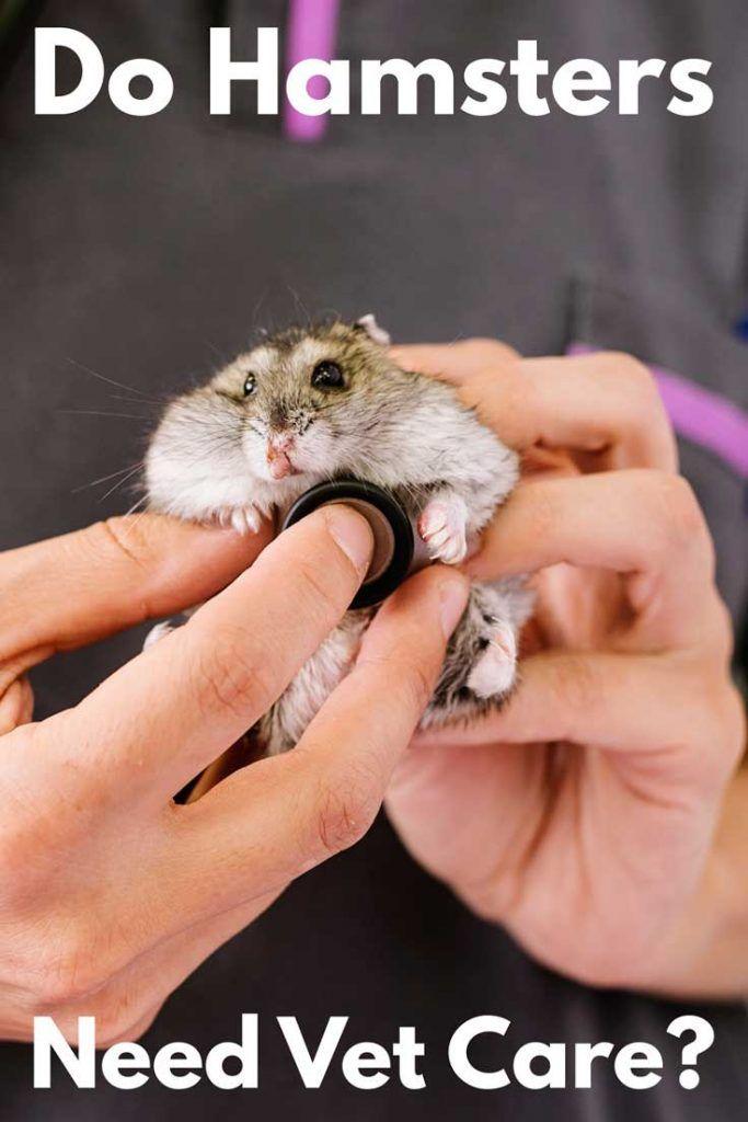 Do Hamsters Need Vet Care Hamster Hamster Care Vets