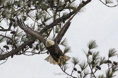 BC Female Bald Eagle 6