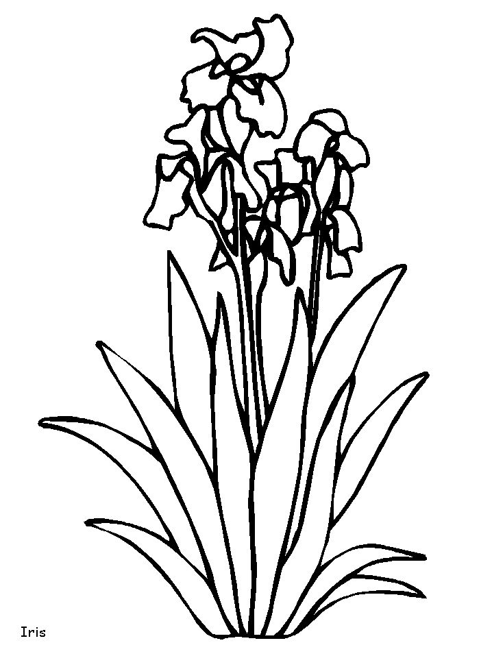 238 best line drawings of irises images on pinterest irises coloring page iris flower bing images pronofoot35fo Image collections
