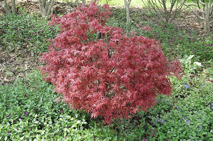 Shaina Japanese Maple (Acer palmatum 'Shaina') at English