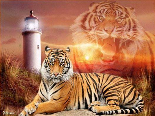 Tigre, guapa foto