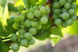 Druiven, Groene Druiven, De Natuur