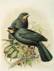 Huia Extinct now killed of by introduced PEST