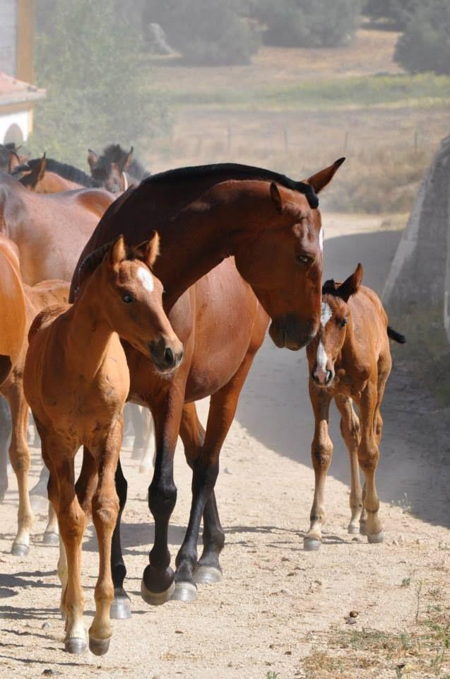 Lusitanian horses, Coudelaria de Alter. Alter do Chão, Alentejo, Portugal. (Photo:Sheila Nunes) #alentejo #visitalentejo #portugal #visitportugal #alter #alterdochao #lusitanianhorses #horses #coudelariadealter