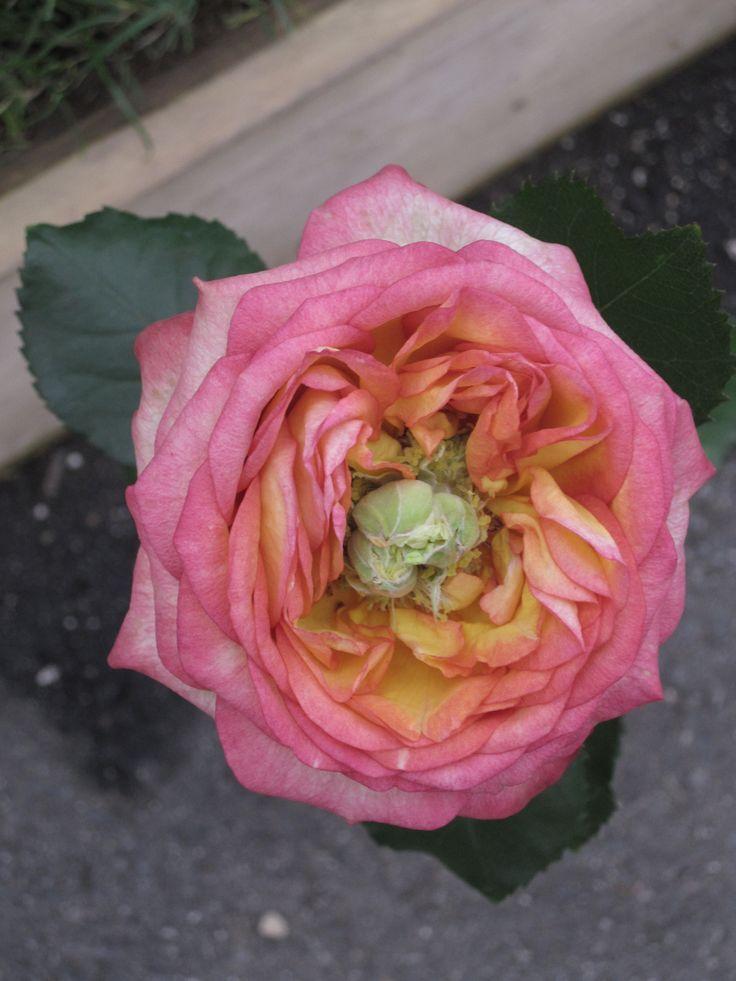 Rose Buga 2013