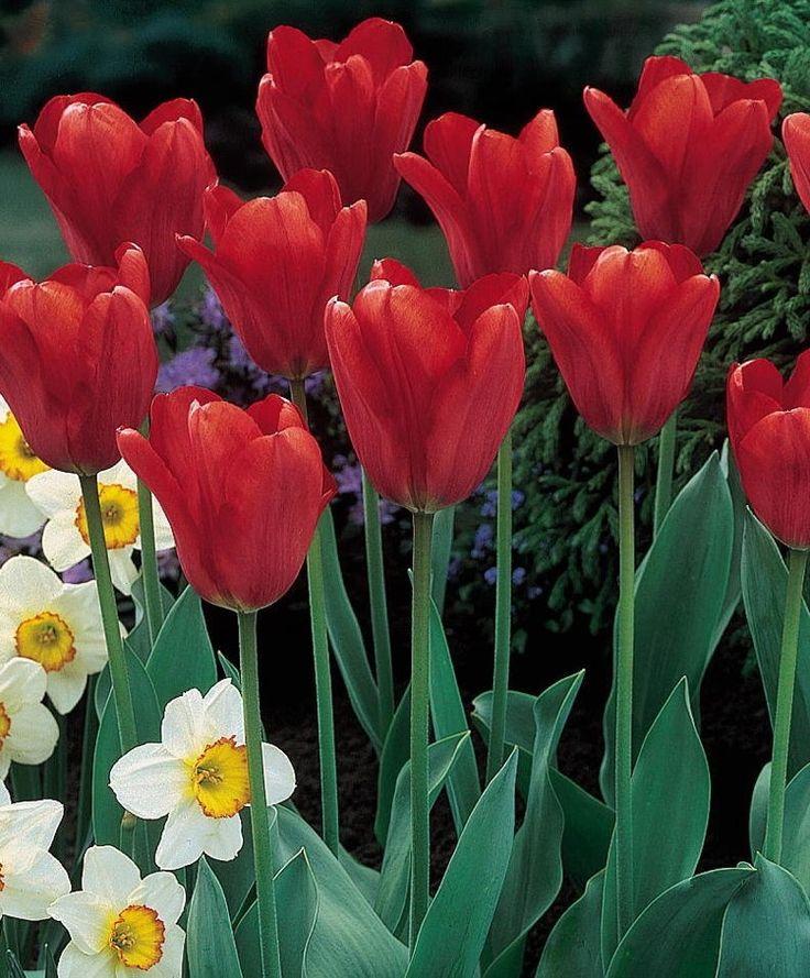Tulip Holland's Glory - Giant Darwin Hybrid - Tulips - Flower Bulbs Index