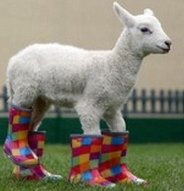 Lamb wearing multi colour  wellies