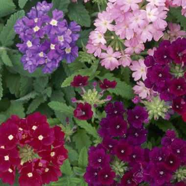Verbena is beautiful and can tolerate the heat of summer.