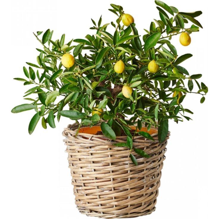 Miniappelsin på stamme