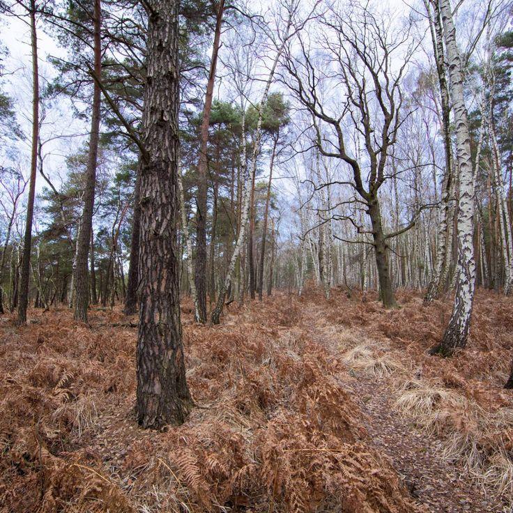 Bild 34 - Zadlitzbruch in der Dübener Heide bei Torgau | © Michael Eichhorn #zadlitzbruch #dübener_heide #naturschutzgebiet #sachsen #saxony #ausflugsziel #torf #moor #hochmoor #wandern #dübenerheide #duebenerheide #torgau #baddueben #baddüben #wald #sumpf #sumpfgebiet #natur #naturschutz #reservat #biosphäre #biosphere #farn #naturpark #falkenberg #trossin #dresden #nordsachsen #leipzig #sehenswürdigkeit #ziel #sonnentau #sumpfdotterblume #kranich