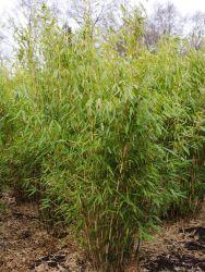 die besten 25+ bambus winterhart ideen auf pinterest | chinaschilf, Garten Ideen