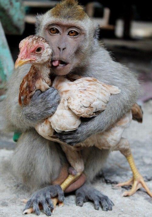 Hakim, no vilarejo de Banyuwangi, na ilha de Java (Indonésia), apaixonou-se por uma galinha.