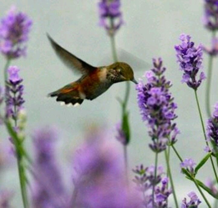 Hummingbird feeding on a lavender flower