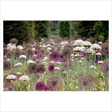 Allium nigrum with Allium 'Purple Sensation' at RHS garden Wisley