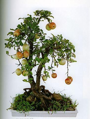 Apple Bonsai... Look at These Tiny Fruits!!