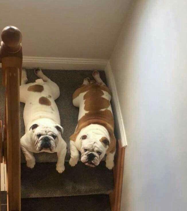Omg I Can T Handle It Lol Bulldog Puppies Bulldog English