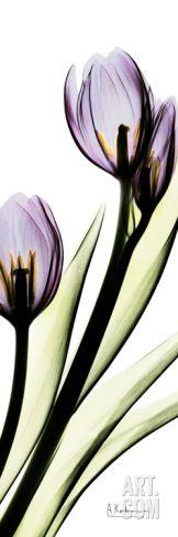 Tulip in Purple Art Print by Albert Koetsier at Art.com