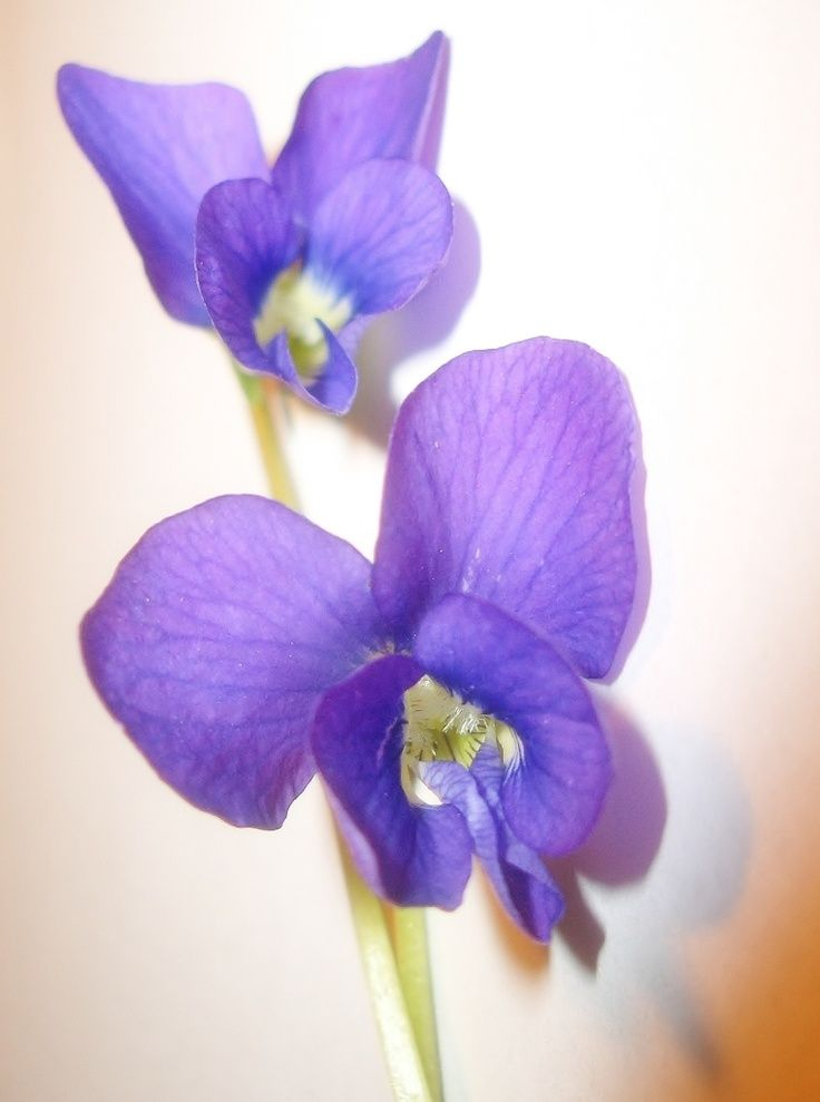 1000 ideas about violet tattoo on pinterest violet flower tattoos tattoos and flower tattoos. Black Bedroom Furniture Sets. Home Design Ideas