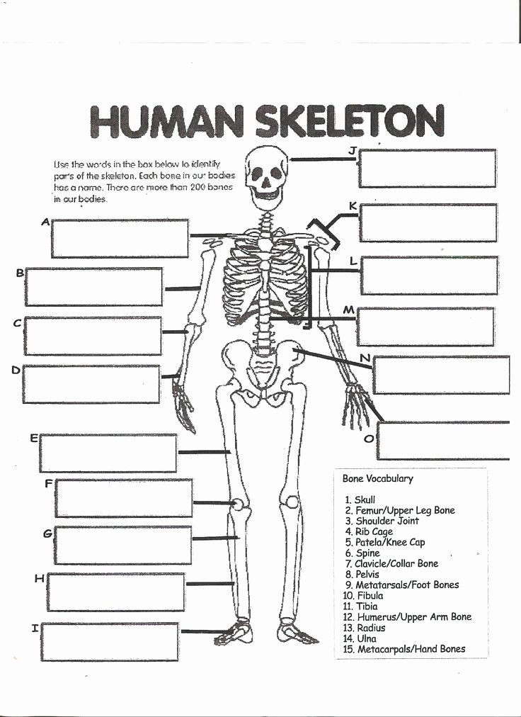 The Skeletal System Worksheet Lovely Anatomy Labeling