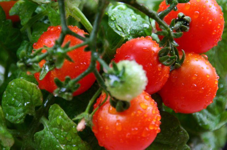 Vyšniniai pomidoriukai namuose: sėkime ir auginkime