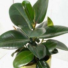Tanaman Beringin Karet (Rubber Fig)