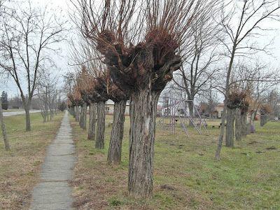 Nagymágocs.: Öreg fák.