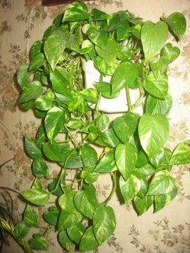 Scindapsus złoty, Epipremnum pinnatum, Golden pothos, uprawa scindapsusa,  rośliny do domu, rośliny doniczkowe, rośliny pokojowe, pnącza, rośliny o długich pędach, rośliny pnące, rośliny o efektownych liściach, rosliny pokojowe, Ogrodnik-amator.pl