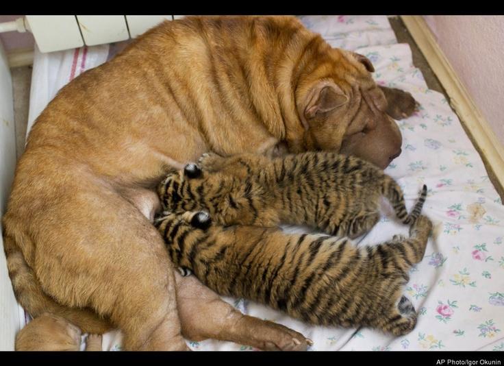 Shar Pei Nurses Endangered Tiger Cubs