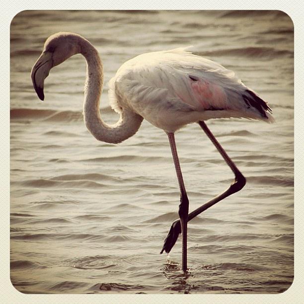 Namibia - Flamingo