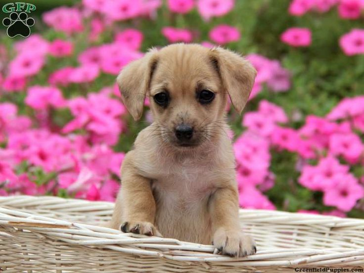 jackapoos puppies for sale Southampton, Hampshire