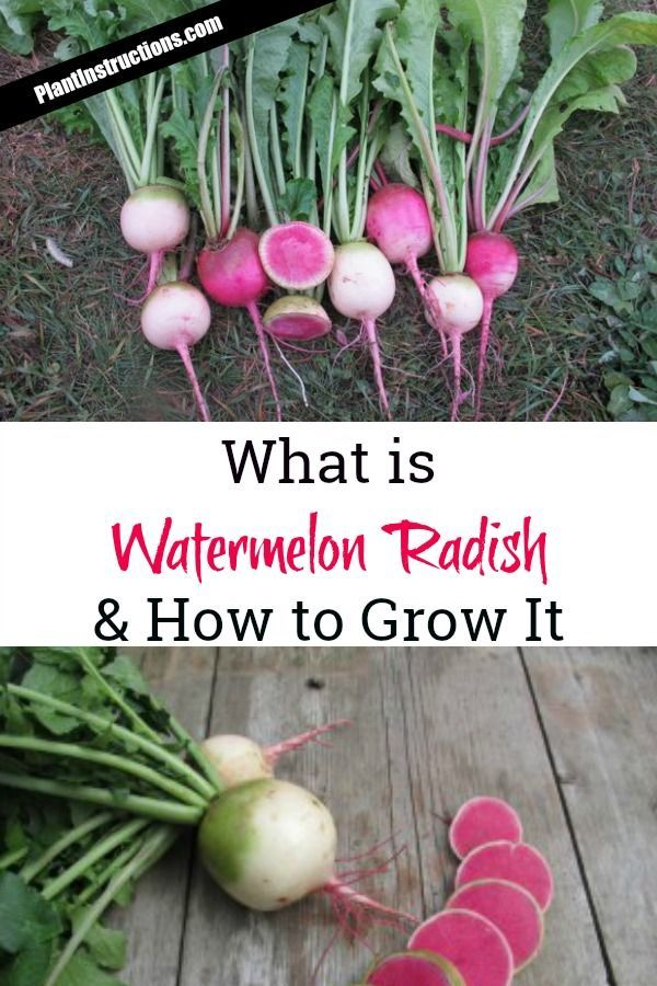200 Watermelon Red Radish Seeds Delicious Crisp Vegetable Organic Seeds S049