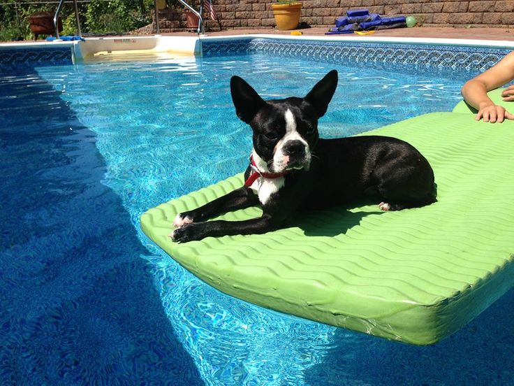 Leo from Syracuse, USA Enjoying the Summer at the Pool (Photo) | Boston Terrier Dogs
