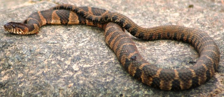Northern Water Snake Snake Pinterest We Pictures Of