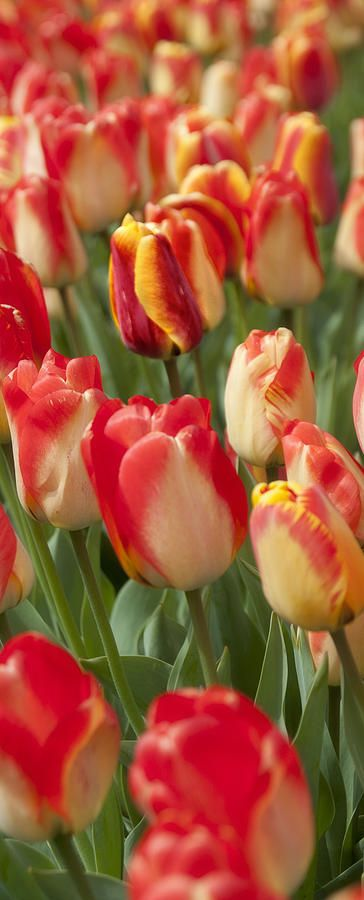 Tulipas da fotografia da Primavera - tulipas Da Primavera Fine Art Print