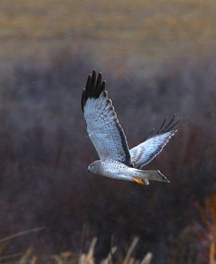 Northern Harrier (marsh hawk; Circus cyaneus):RT9A0624