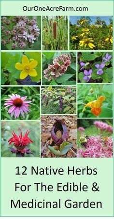Garden with these native plants for food and medicine, to provide for both humans and wildlife. Edibility, medicinal uses, and wildlife value are summarized for each plant. These herbs have a rich Native American ethnobotany, and as native plants, they support native wildlife. Some are favorites of foragers and other are favorites of herbalists. Great for a permaculture garden!