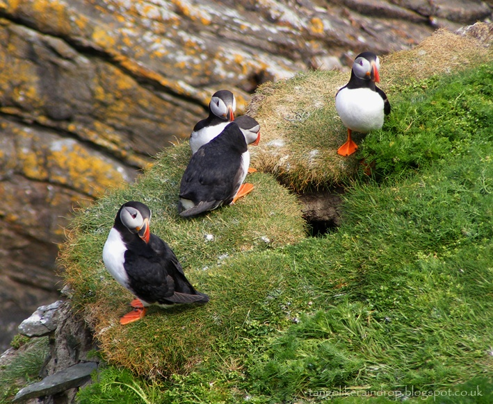 Puffins at RSPB Sumburgh Head Nature Reserve