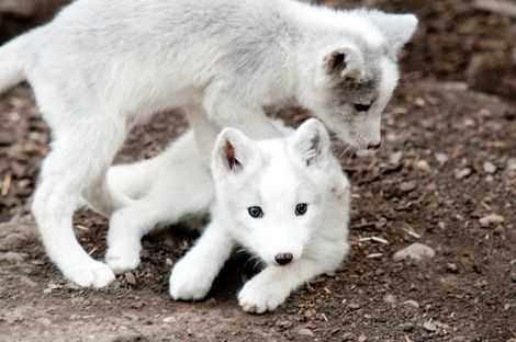 White Wolf: Outstanding photographs of young Arctic Fox Pups