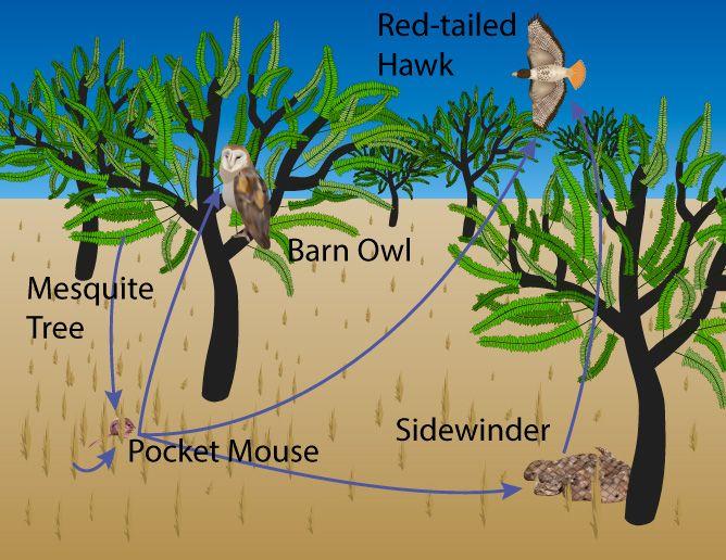 Sonoran desert animals food chain