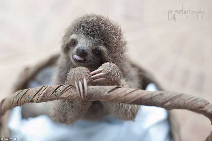 Ready for its close-up: This small sloth enjoys the attention its getting from Trull, who has worked with animals for over 20 years