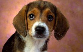 Глазастый щенок бигля