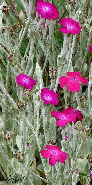 Coquelourde des jardins (Silene coronaria) Lychnis coronaria