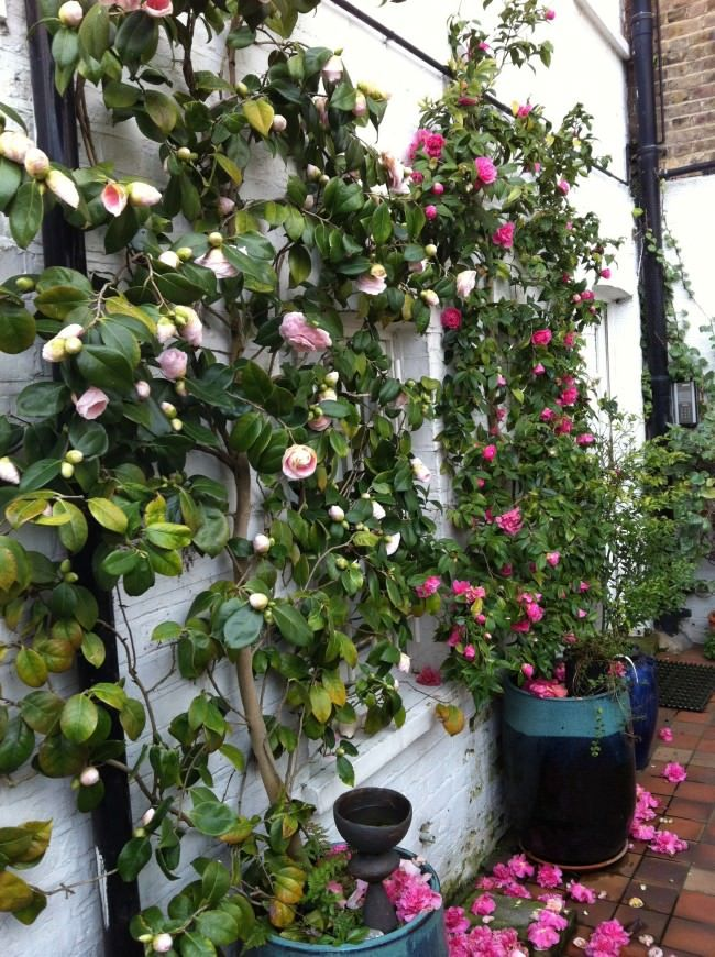 camellia espalier garden beautiful beautiful cold weather and a house