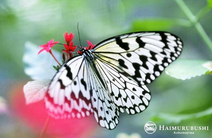 はいむるぶし園内でも見ることができるオオゴマダラ また、園内にある昆虫博物館では世界の珍しい昆虫を展示しています