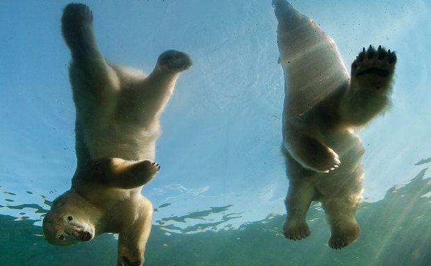 Urso-polar (Ursus maritimus) Zoológico e Aquário de Columbus, em Powell, Ohio As gêmeas Aurora e Anana têm espaço para uma coreografia de balé na exposição Fronteira Polar, que ensina aos visitantes como o derretimento do gelo marinho afeta os ursos-polares. CLASSIFICAÇÃO DA IUCN: VULNERÁVEL