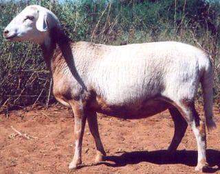 Meatmaster ewe