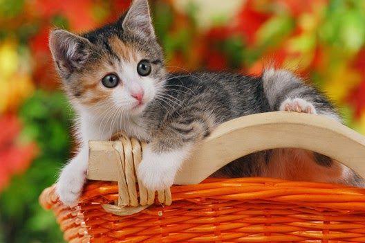 Tyle różnorodnych umaszczeń u kotów, a tylko dwa barwniki w ich włosach!