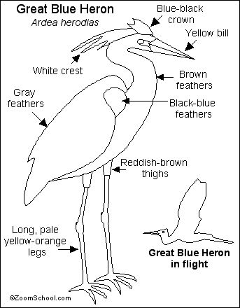Great Blue Heron Printout- EnchantedLearning.