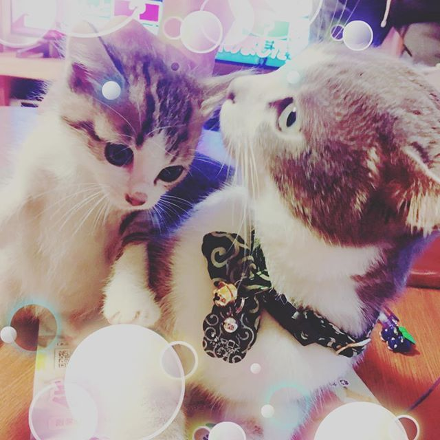 マロンの小さい頃にそっくり❤️ #新しい猫増えました😆 #マロンにそっくり #愛猫 #つみき🐈家出中 #とらのすけ #まだミルク飲んでる  #かわいい