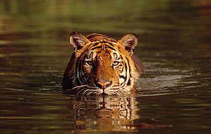 Estudios recientes indican que puede haber tan sólo 3.200 tigres (Panthera tigris) en su hábitat natural. Los tigres ocupan menos del 7% del territorio original, el cual ha disminuido un 40% durante los últimos 10 años. WWF